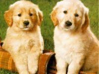 Semnul astrologic al animalului de casa - câinele